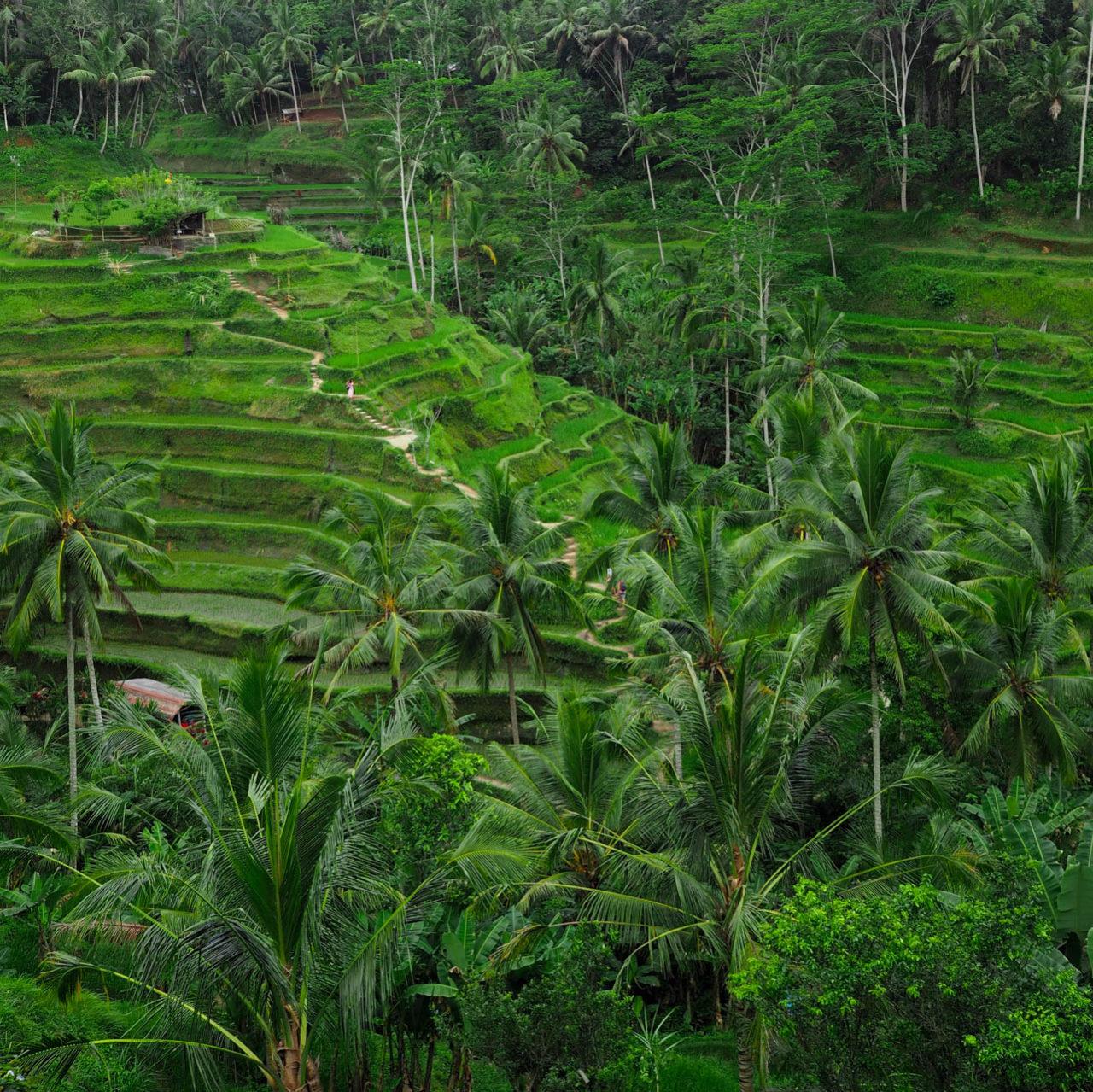 tegalalang-rice-terrace-ubud-bali-3